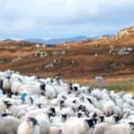 Image for the Tweet beginning: Gathering Tolsta Chaolais sheep for