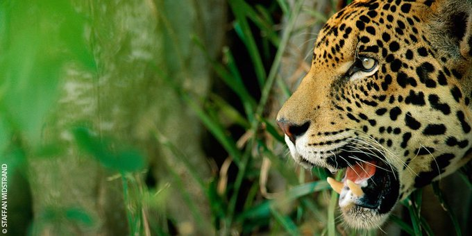 There are only around 170,000 jaguars left in the wild, and their numbers are on the decline due to habitat loss, poaching and deforestation. #FightForYourWorld #Caturday Photo