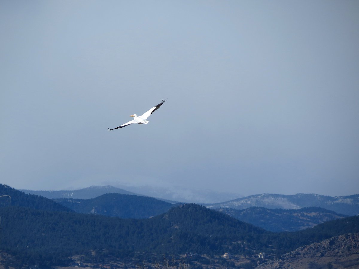 Birders delight in FOS, or first-of-season, sightings. Thats cool. Theres something definitive and satisfying about an FOS. But what about an LOS, more indeterminate, more ambiguous? Was this pelican, sailing off into a snow squall coming off the the Rockies, the LOS?