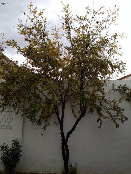 Conectando desde la lluvia amarilla de los preciosos árboles con @BosqueHabitado #LaBondadRadio3 Ganazas de escuchar Poemas desde la Naturaleza #soydomingueroconmovido Foto