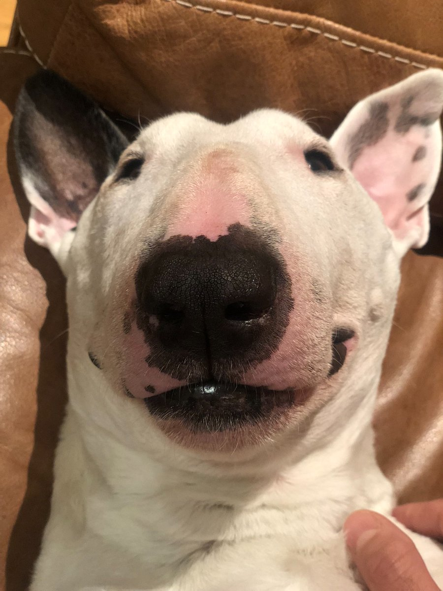 Boop! Today it rained all day so I just lied in the couch pretty much all day! . . . #rainyday #bullterrier #dogsofinstagram #DogsOfTwitter #dog #puppers #doggo #dogs #sleepydog #bullies<br>http://pic.twitter.com/ODb71PwyA6