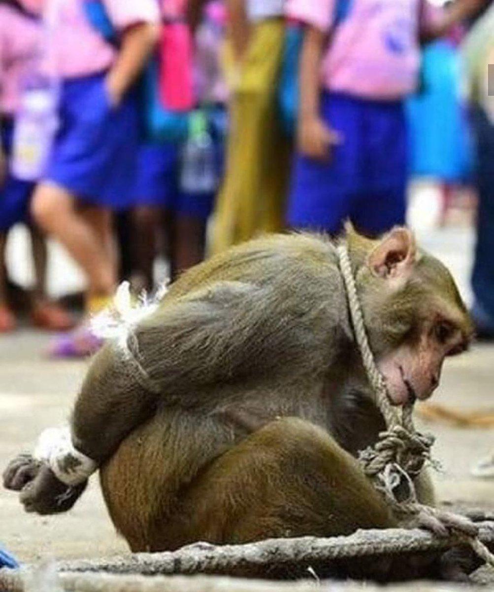 INDIA | Este animalito agarró una manzana y por ello lo amarraron, reduciendolo tal como se aprecia en la imágen, como si se tratáse de un ser racional. Él sólo buscaba calmar el hambre, pues no sabe nada de dinero. El ser humano se ha vuelto inhumano, mala especie. Sin perdón