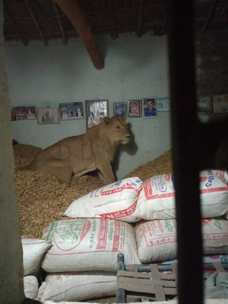 Lion enters house, sits on pile of groundnut, stays there, photo goes viral