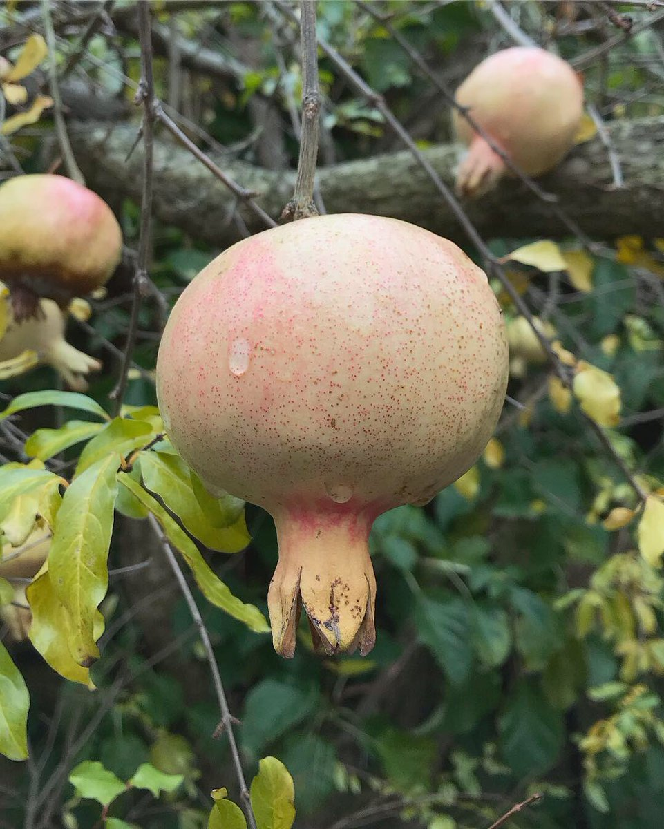 "Jack Wallington on Twitter: ""We saw lots of pomegranate trees at ..."