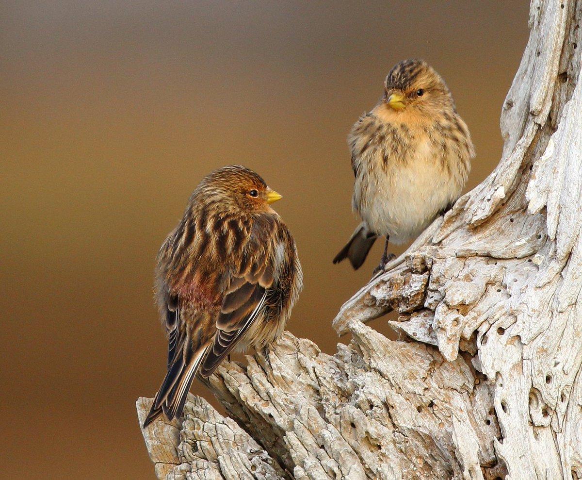 Twite at Thornham Harbour, Norfolk @BirdGuides @RSPBNorfolkLinc @JoKingDevon @MarkDobinson1 @markrabailey @Natures_Voice