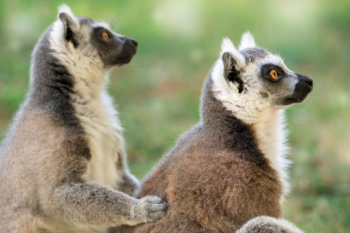Australia Zoo On Twitter Lookout For The Next Episode Of Crikey It S The Irwins As We Welcome 7 New Ring Tailed Lemurs To Our Australiazoo Family And Give An Alligator Snapping Turtle A