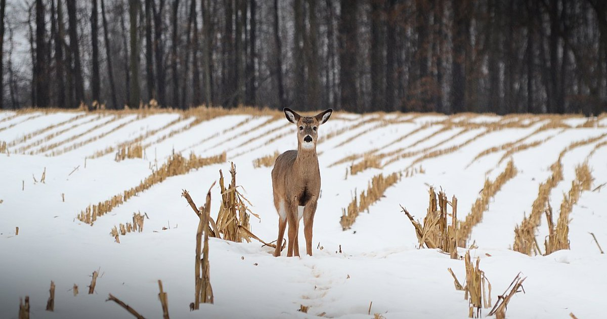 Doe in broad daylight (photo)