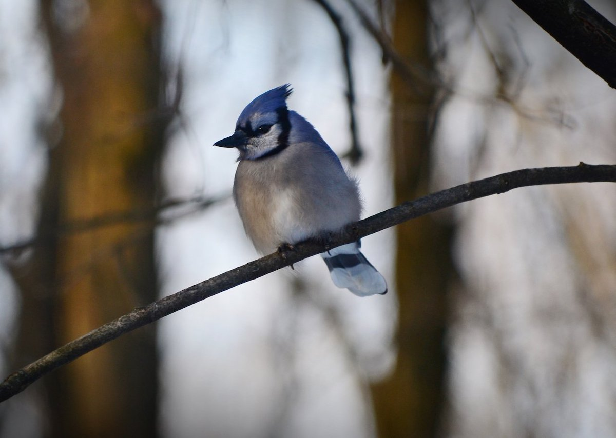 Blue Jay enjoying the feeder on a cold winter's day (photo)