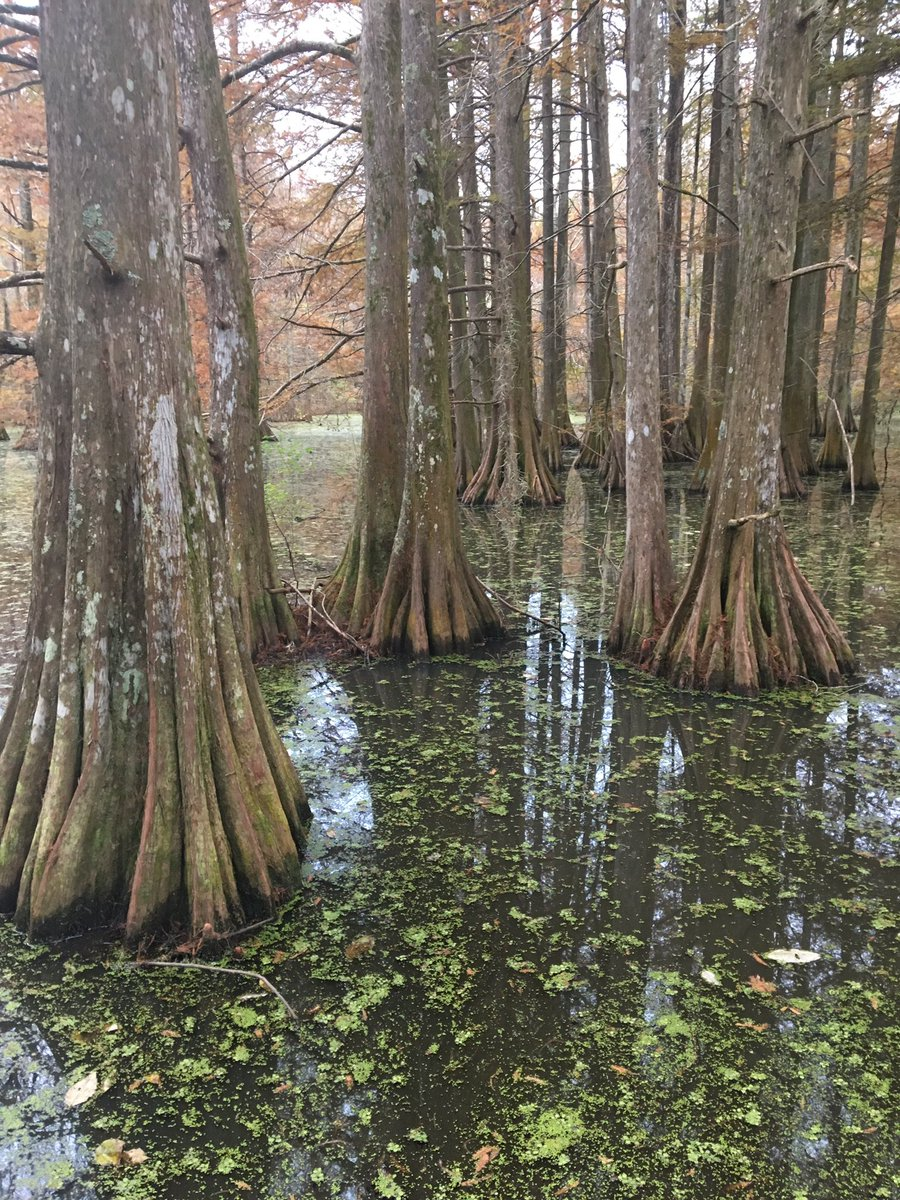 I'm just so damn thankful I was able to get into a bit of remote Louisiana to visit these beautiful giant Cypress trees. Sometimes you have to see the Forest for the trees. #NatureIsBeautiful #Louisiana #ilovetrees #habitats