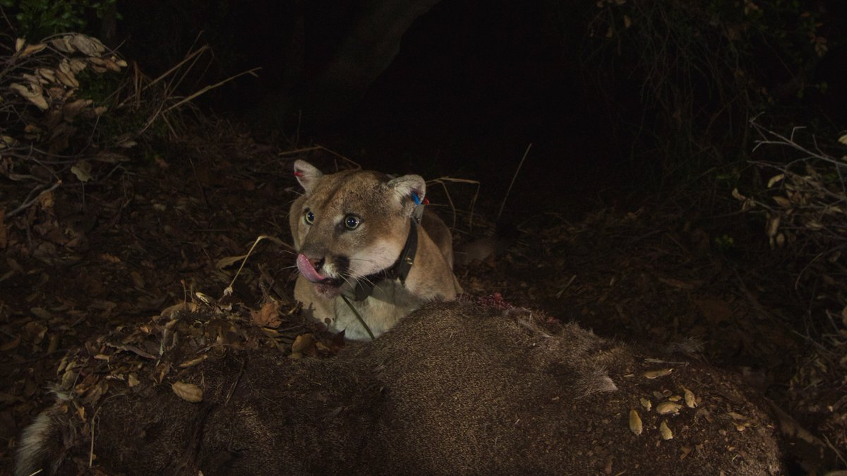 UPDATE: Our wildlife team located P-22 today at Griffith Park and he appears to be doing fine. There are two additional mountain lions that we have not yet accounted for (P-74 and P-42). 📷 from 2014