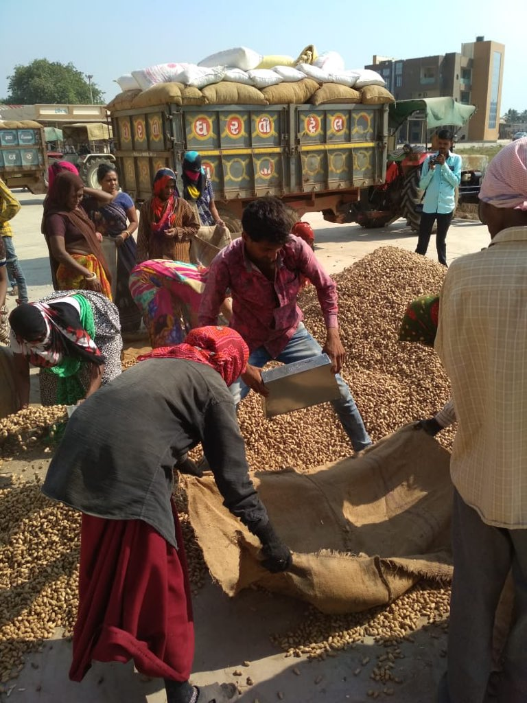 Procurement of groundnut at MSP starts in Gujarat from today, strict measures to check irregularity
