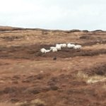 Image for the Tweet beginning: Dry sheep going to the