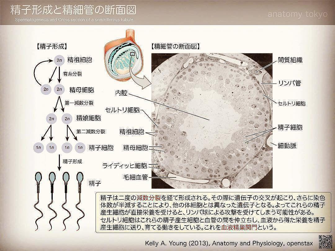 解剖学】合格応援マン on Twitte...