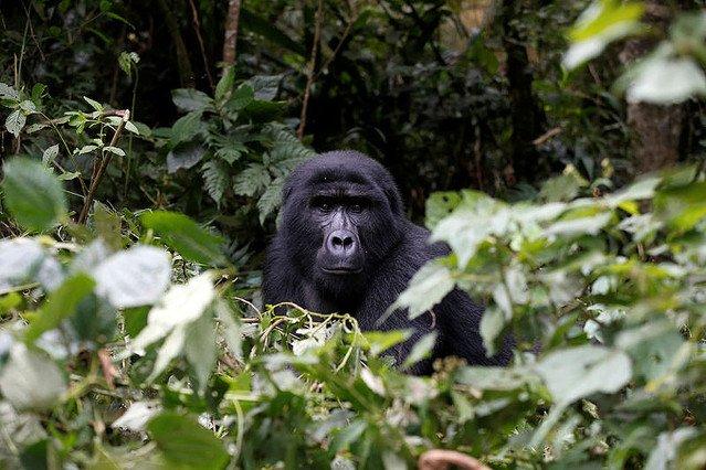 【劇的】ゴリラが異例の個体数回復、「絶滅寸前」脱する 中央アフリカ https://t.co/1lNMOjHHlu  2008年には680頭だったが、今年の調査で1000頭に増加。絶滅寸前より危険度の低い「絶滅危機」に再分類された。