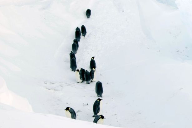 Saved! BBC Dynasties film crew rescue a family of emperor penguins trapped in an Antarctic ravine https://t.co/gHP9oeQzeW