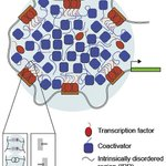Image for the Tweet beginning: Transcription factors activate genes through