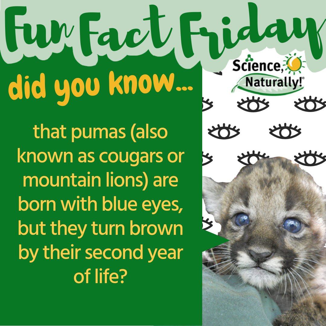 Fun fact about Pumas! #FunFactFriday #Animals #Pumas #DidYouKnow #Science #LearningIsFun https://t.co/itm51JMtrX