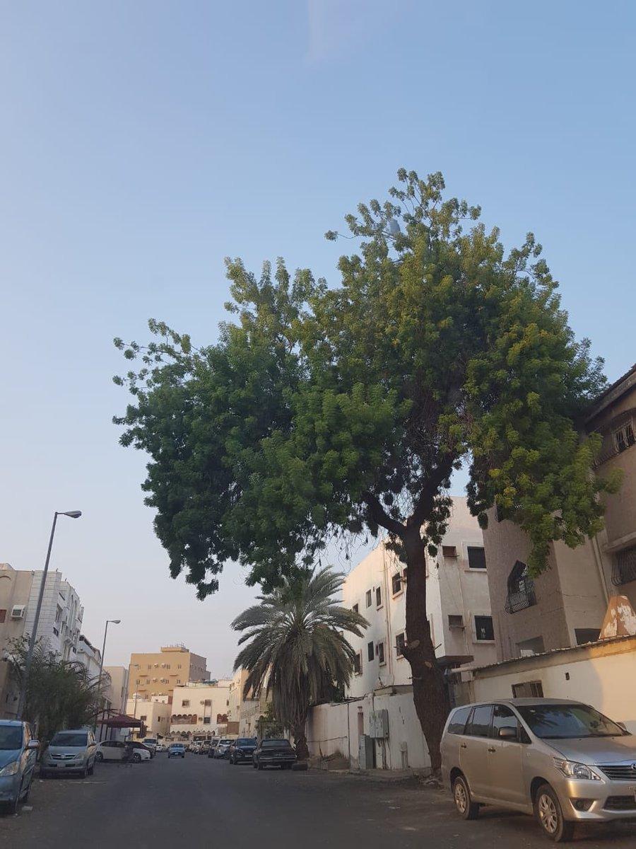 شجرة النيم في السعودية - Shajara
