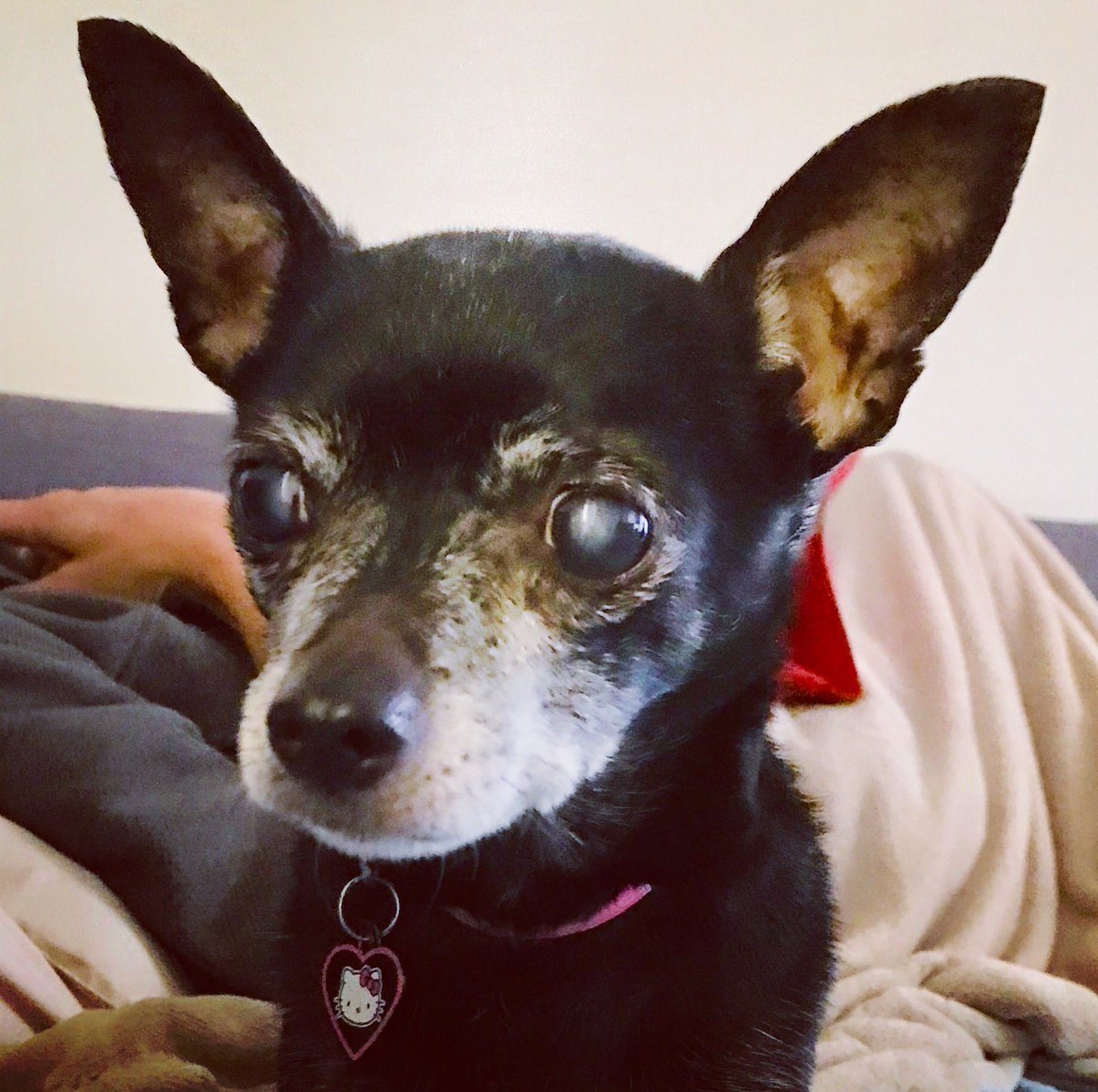 KATIE. Just rescued. 10 years old, 8 lb Chihuahua. Puppy Mill survivor  Super sweet, loves to snuggle &amp; sit in your lap &amp; gets along great with other dogs. Urgently Needs a foster while we find her a forever loving home  #chihuahua<br>http://pic.twitter.com/7eWaCNl9qe