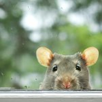 Image for the Tweet beginning: Mice may look cute, but