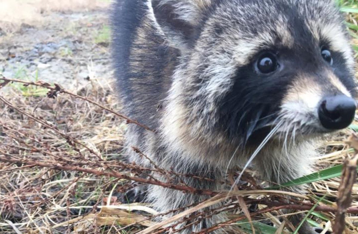 Raccoons suspected of having rabies were actually just drunk as hell https://t.co/xGZl98Vpcv