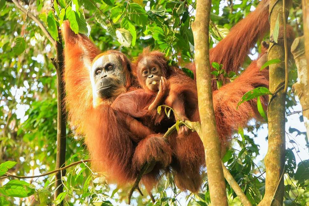 Orangutans show researchers a capacity for a form of abstract communication  never seen before. https://t.co/k3QHdH8EiF