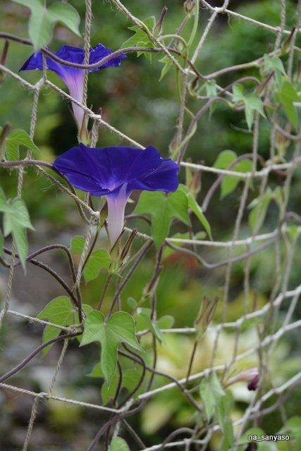#アサガオ【長野県実家の庭】2018.8.11 園芸種です。我が家のアサガオの中では、大きめの花をつける品種。 https://t.co/c63cCR2bzW