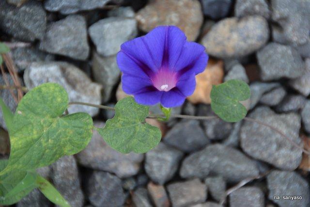 #アサガオ【長野県実家の庭】2018.8.11 園芸種のアサガオと、帰化植物マルバアサガオの雑種だと思います、多分。マルバアサガオの紫花とは花色が微妙に違う。 https://t.co/6pHeqkZ3S5
