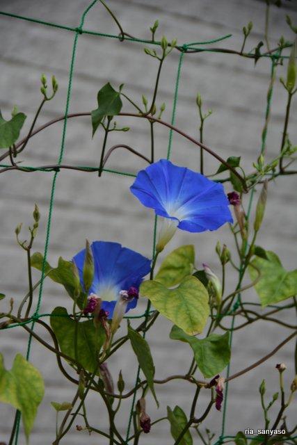 #アサガオ【長野県実家の庭】2018.8.11 園芸種です。アサガオの品種のひとつだと思うのですが、花の咲いているタイミングが他のアサガオと違う。咲き始めが遅く、昼過ぎでも花が開いていたりします。 https://t.co/XEPbptbnJV