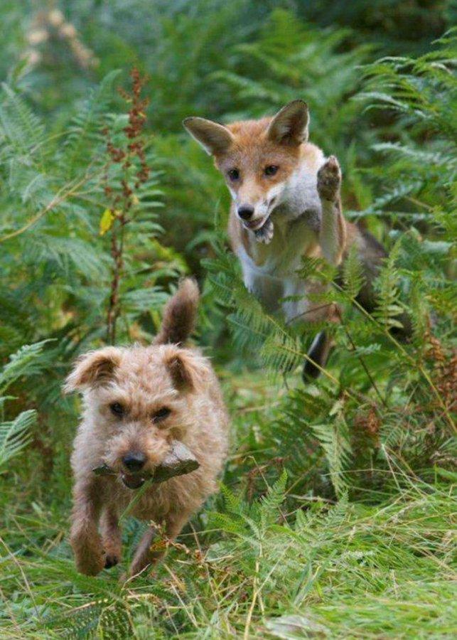 Като филм на Дисни: Изоставено лисиче и кученце станаха първи приятели (СНИМКИ)