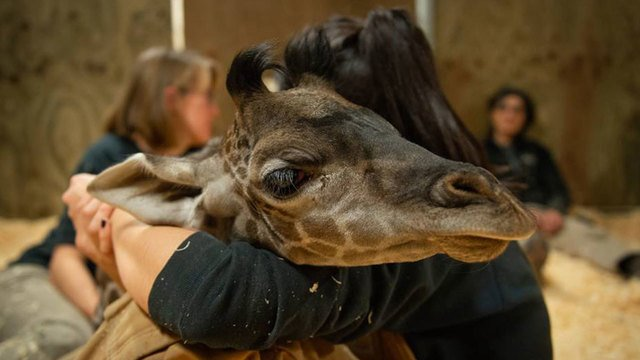 Baby giraffe born just weeks ago died Saturday morning at the Columbus Zoo  https://t.co/QR2VOFafr0
