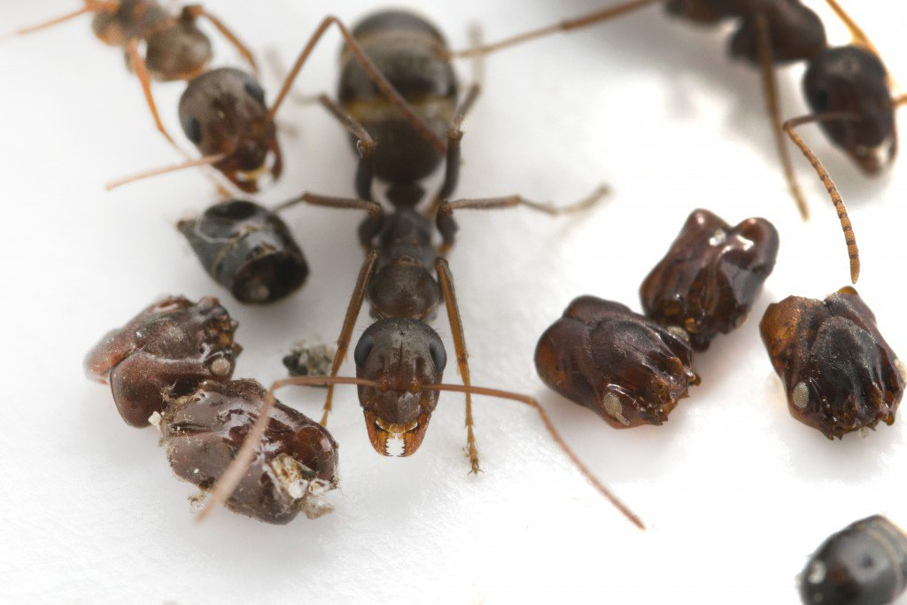 Researchers uncover why these ants collect decapitated heads. https://t.co/94eUcpUZGs