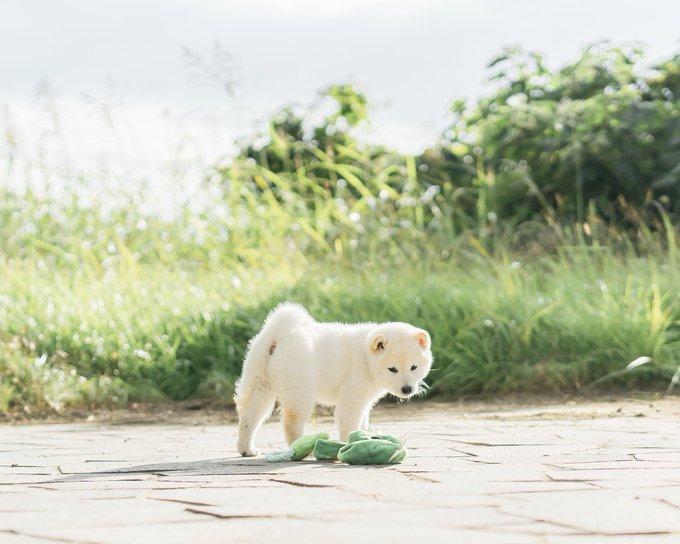 白くまのような柴犬が可愛すぎ。ぬいぐるみのようなふわふわ感。