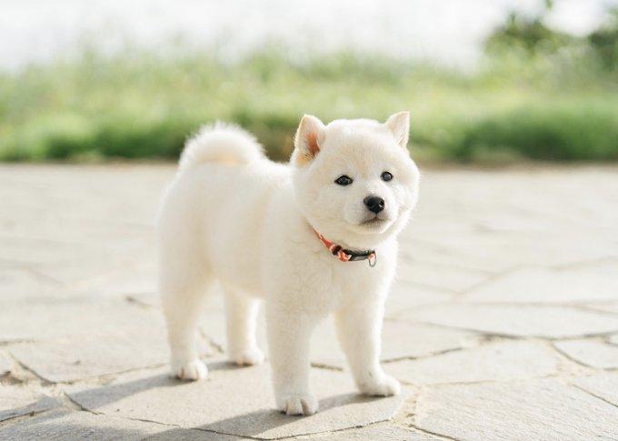 ・ ・ 白くまみたいな柴犬 ・ ・