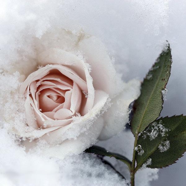 улице фото белой розы на снегу кошка