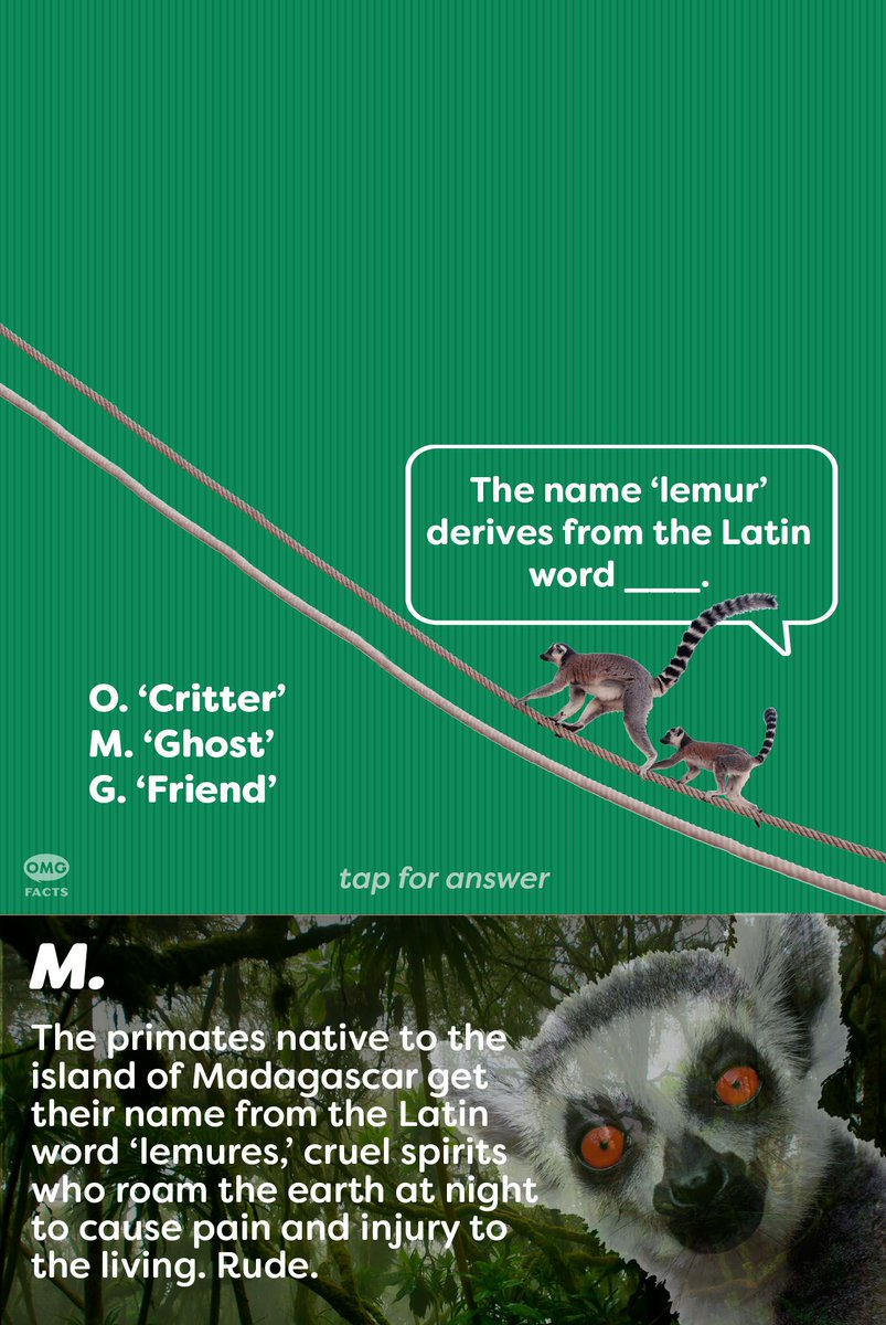 Lemurs are a species of primate known as 'Prosimians.'