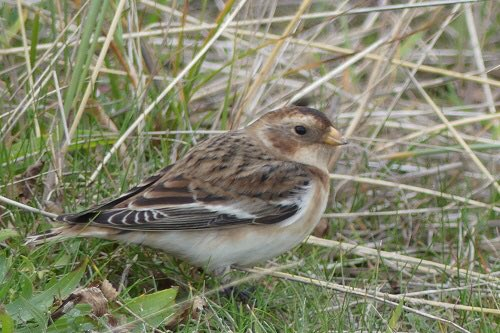 Big news at #christchurchharbour this week is this #snowbunting. They breed around the arctic and migrate south in winter. More often seen in the north and east of UK. Pic by our own Nick Whitehouse. #dorsethour<br>http://pic.twitter.com/Zs8EsrwvqV