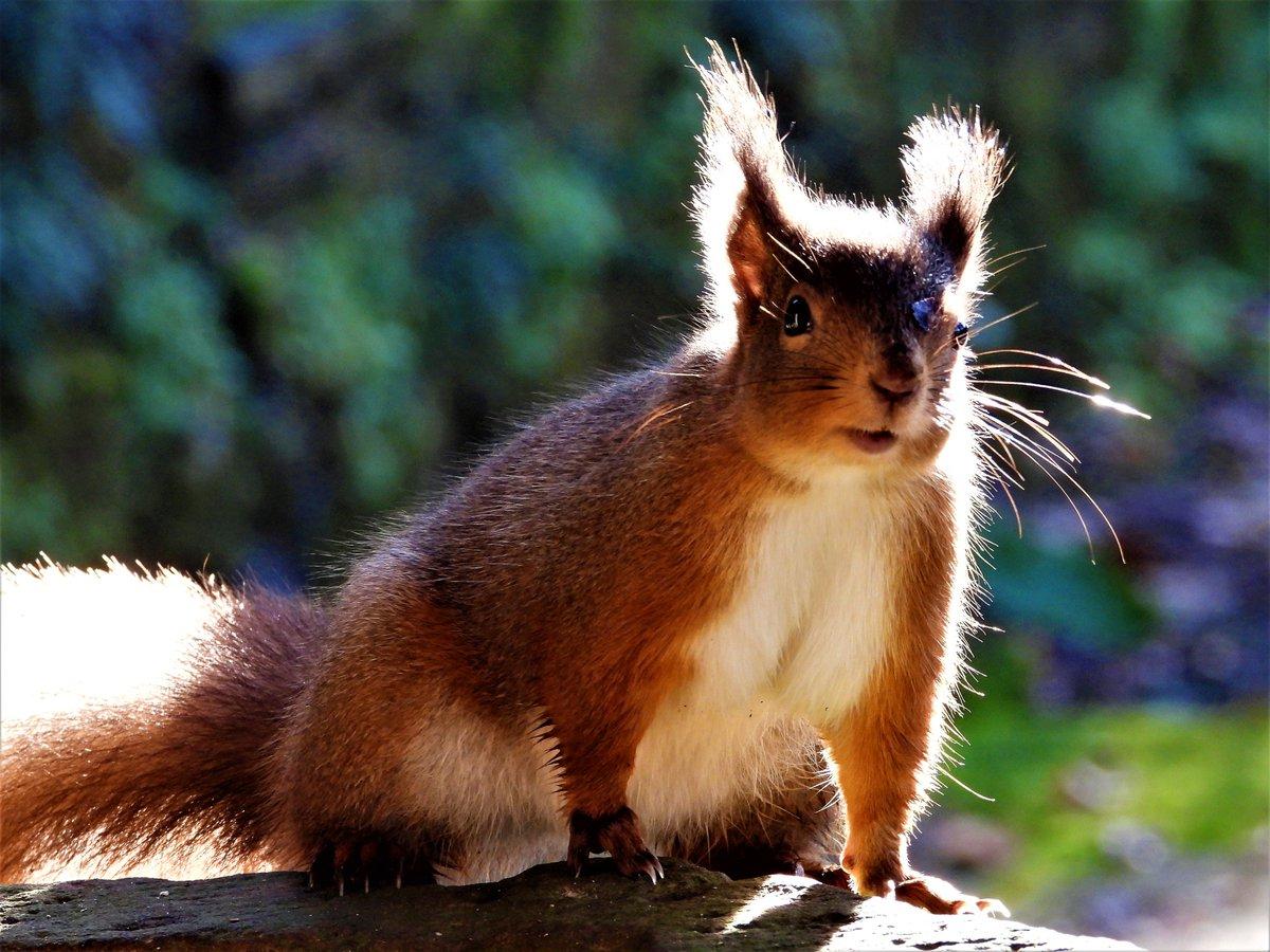 Red Squirrels At Shap Cumbriapic Twitter Com Prgj1duzzx