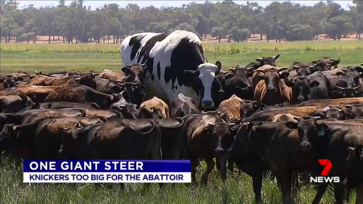 Knickers, a Holstein Friesian steer, is a bovine behemoth that sticks out from the herd. #7News