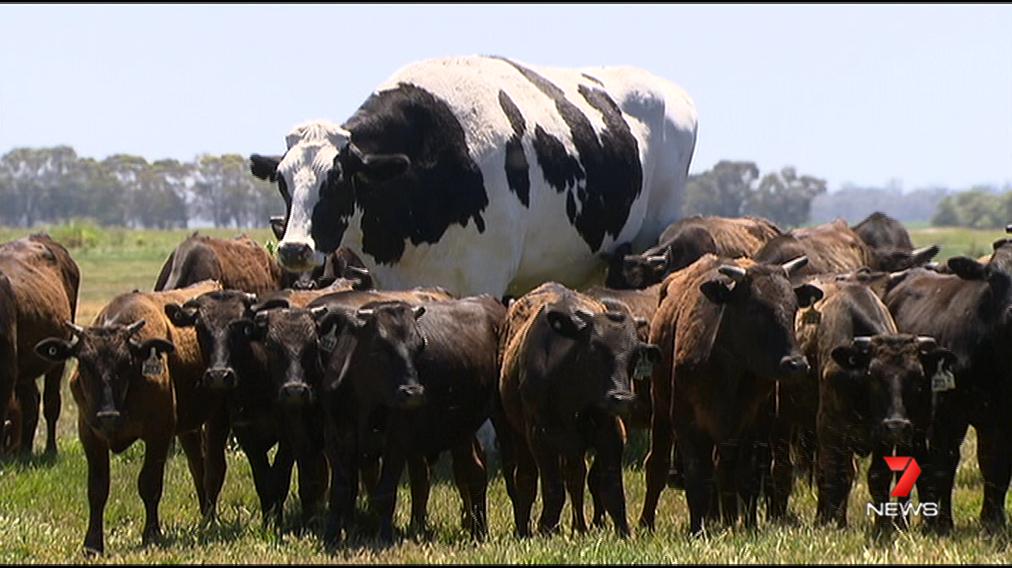 ホルスタイン オーストラリア 牛 マイアラップ オーストラリア南西に関連した画像-04