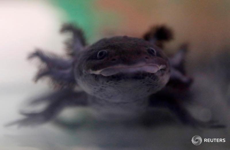 What's slimy, has external gills, and can regrow brain tissue? The axolotl salamander, and Mexico is racing to save it. https://reut.rs/2DNTbxW