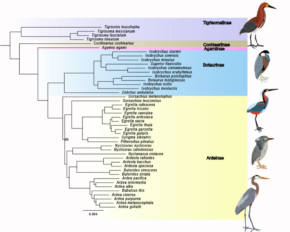 4 #BOU18TC Our results, based on maximum likelihood and species tree methods, all produced a congruent, robust and well-supported phylogenetic hypothesis. The placement of traditionally enigmatic genera, such as the Agami Heron and Boat-billed Heron, were resolved. #ornithology