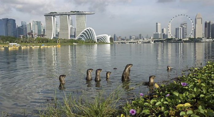 When I was a kid, the Singapore river verged on being an open sewer. And otters were thought extinct on the island. Here's what effective green policies can do! #Inspirational #conservation #otters #urbangreening
