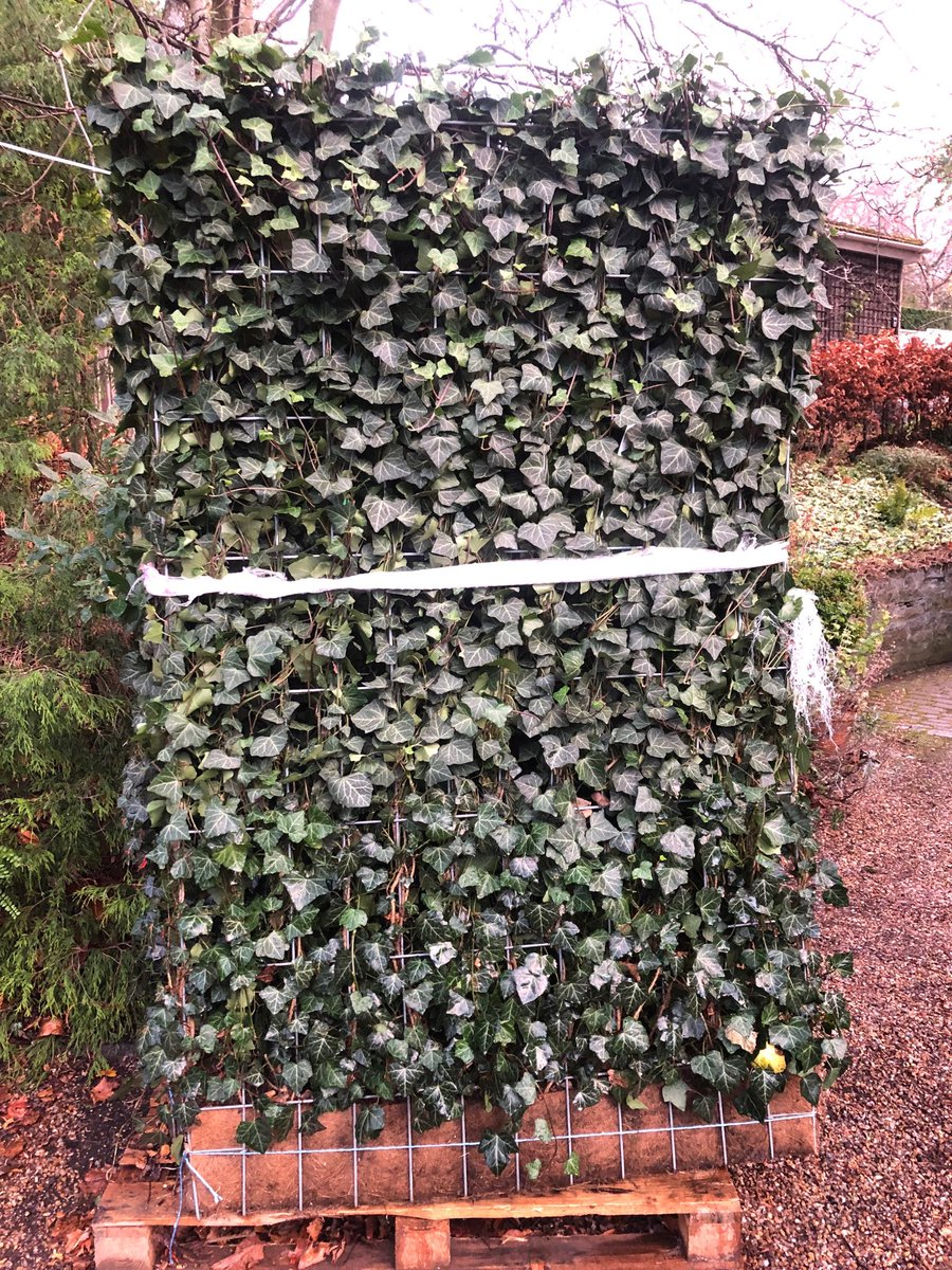 Jennys Gardens On Twitter Ivy Screen Fencing For Instant