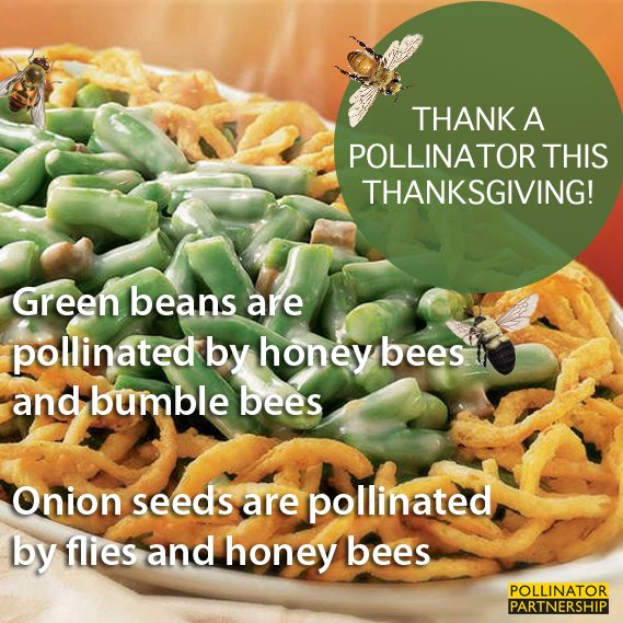 Today for #ThankAPollinator week we are giving thanks to #flies, #bumblebees, and #honeybees which all help produce those vibrant green beans and crisp onions used in scrumptious casseroles! To support #pollinators, visit our #GivingTuesday website at pollinator.org/giving-tuesday…