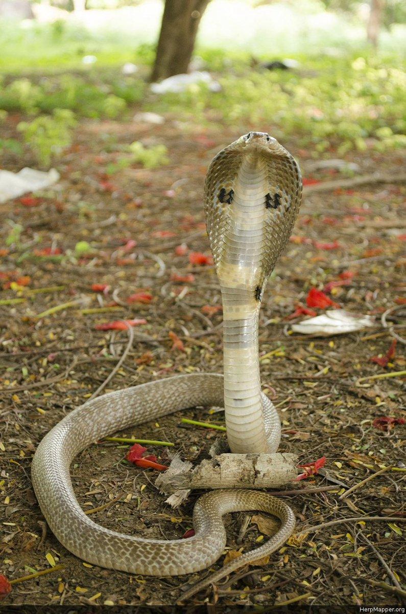 Букетик своими, смешные картинки очковая змея