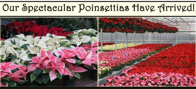 Besides The Traditional Red White And Pink Van Bourgonn Nursery Also Carries Artistic Variations Of Speckled Variegated
