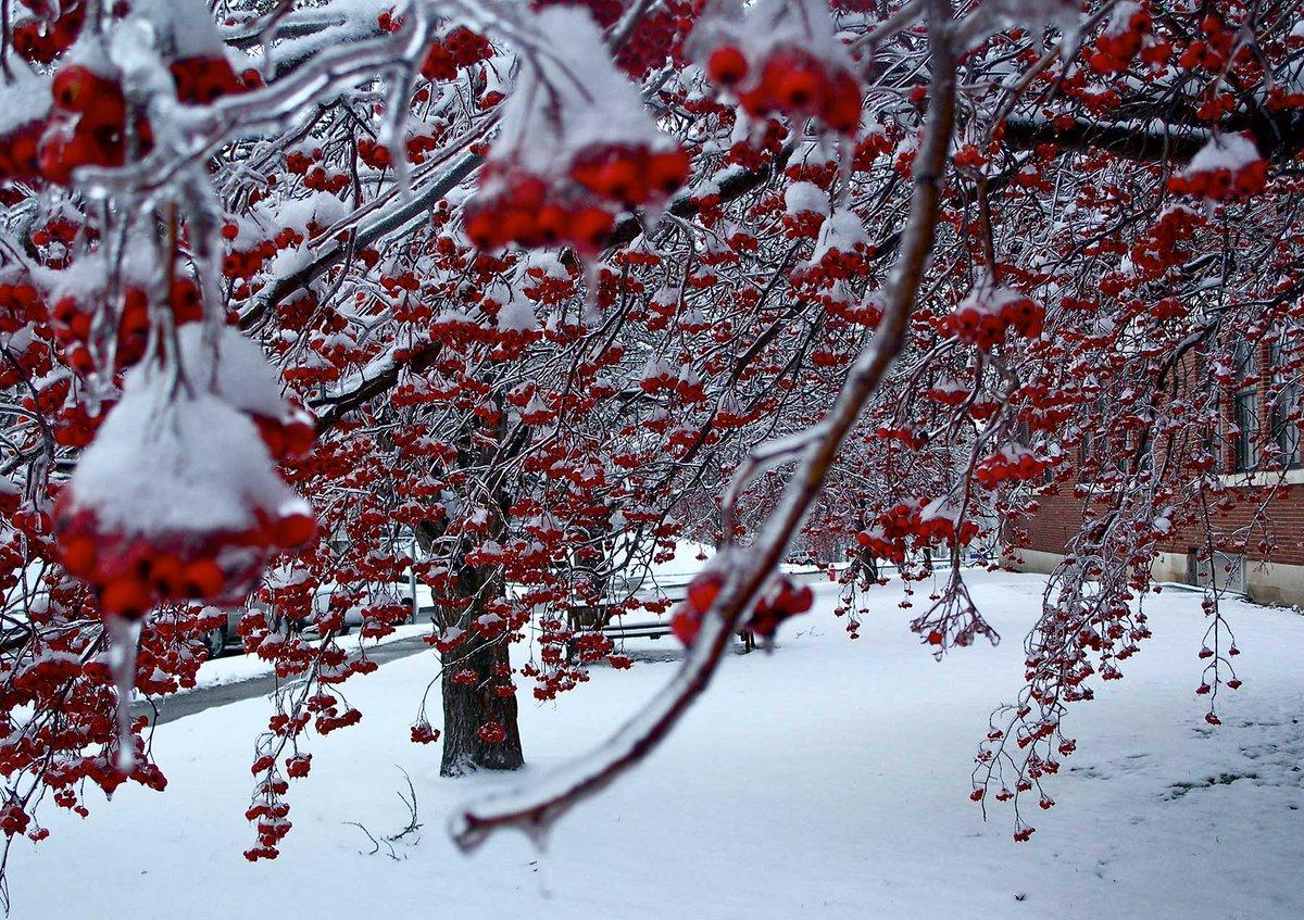 Картинка зимняя вишня фото