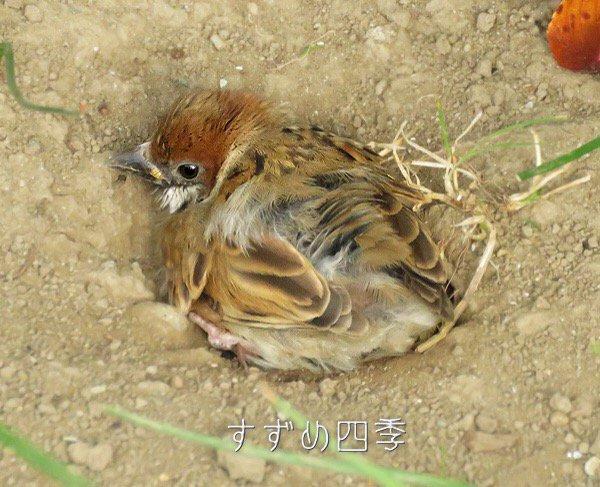 suzumeshikiの画像