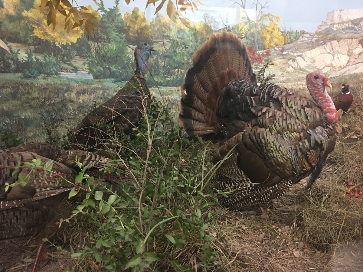 Hastings Museum On Twitter Did You Know A Group Of Turkeys Is Technically Called A Rafter Though They Are Often Incorrectly Referred To As A Gobble Or Simply A Flock Happy Thanksgiving